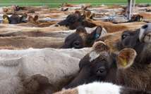 Cows produce hundreds of litres a day of potentially explosive methane gas (William West (AFP/File))