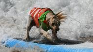credits/photos : Surf dog Yogi rides a wave to the beach during the 8th annual Surf City Surf Dog event at Huntington Beach, California
