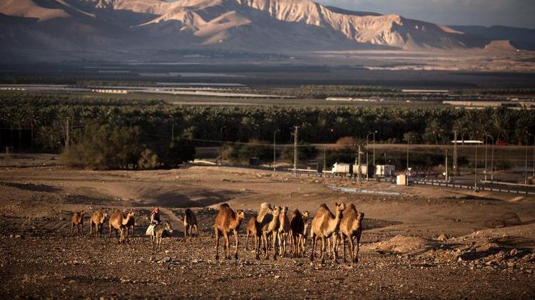 Un troupeau de chameaux dans la vallée du Jourdain, le 16 février 2014