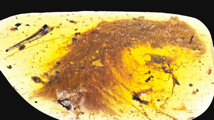 The feathered dinosaur fossil was found at an amber market in Myanmar
