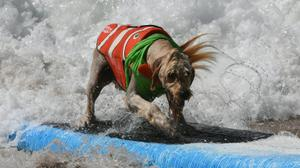 SurFUR dogs take the lead at unique US surf competition