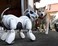 Robot dog AIBO is seen next to 'Kuma', a Shiba Inu breed, outside the Kofuku-ji temple in Isumi, Japan's Chiba prefecture ( Toshifumi Kitamura (AFP) )