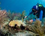 Diving instructor Patti Gross plants coral and scrubs algae off coral as part of a gardening project at Alligator Reef in the Florida Keys on May 23, 2015 ( David Gross (AFP) )