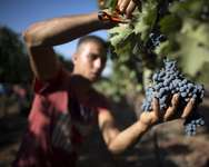An Israeli Arab farmer harvests cabernet sauvignon grapes for the Bazelet Hagolan Winery at Kidmat Tzvi in the Israeli-annexed Golan Heights on September 20, 2012 ( Menahem Kahana (AFP/File) )