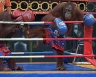 Orangutans take part in a Muay Thai kickboxing bout at Safari World, a large zoo on the outskirts of Bangkok ( Pornchai Kittiwongsakul (AFP) )