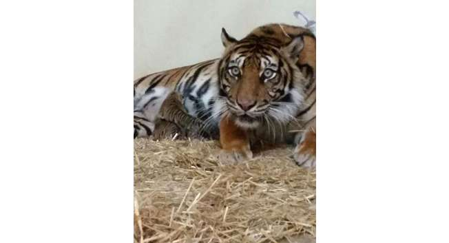 Channa the tiger ( The Jerusalem Biblical Zoo‎ )