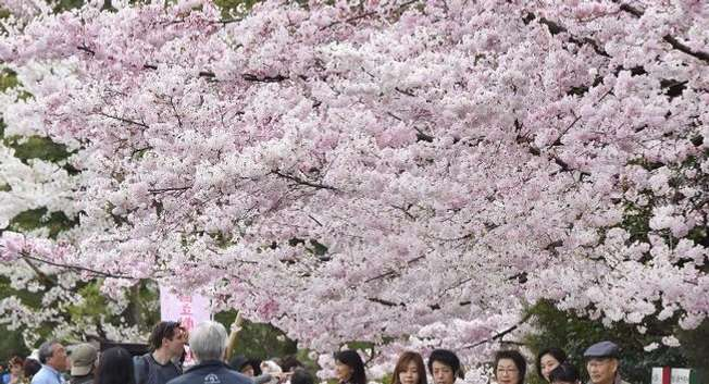 Cherry blossom tree in Tokyo on March 31, 2015 ( AFP PHOTO / Yoshikazu )