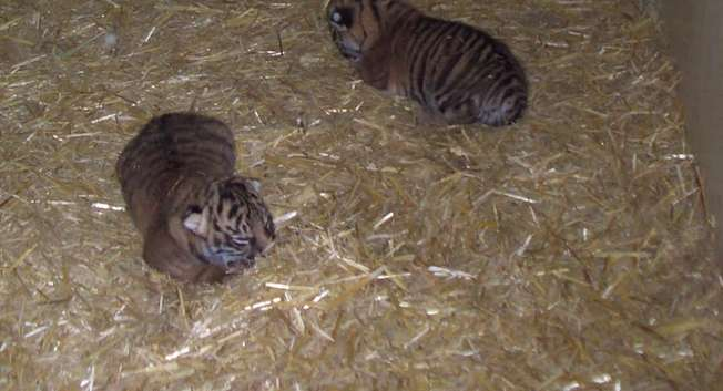 Tiger cubs, December 2014 ( The Jerusalem Biblical Zoo‎ )