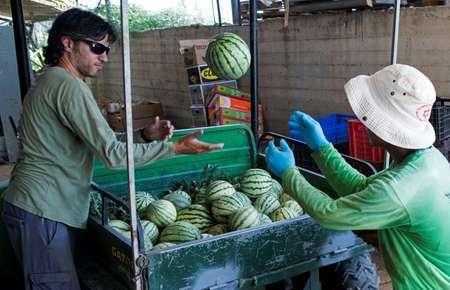 A graduate of Israel's prestigious Technion technological institute, Dotan Goshen now spends his days growing organic produce ( JACK GUEZ (AFP) )