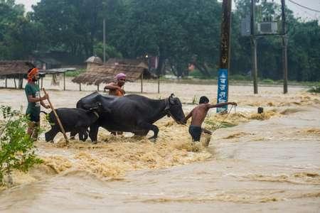 Des népalais aident leurs buffles à traverser les flots, le 13 août 2017 dans le district de Birgunj Parsa, à près de 200 km de Kathmandou ( - (AFP) )
