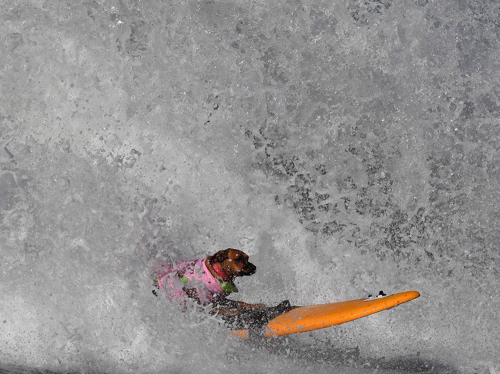 A surf dog catches a large wave during the 8th annual Surf City Surf Dog event.
