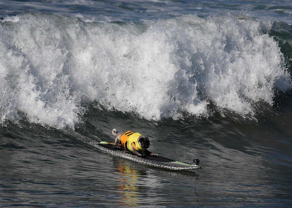 SurFUR pug Brandy