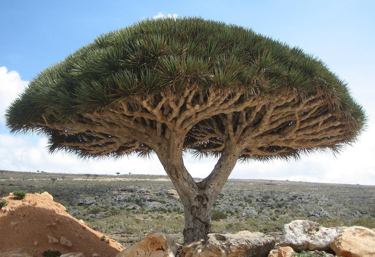 جزيرة سقطرى اليمنية ويكيبيديا