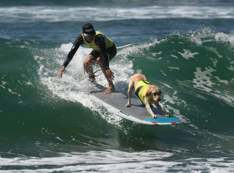 A surf dog competes in the tandem event during the 8th annual Surf City Surf Dog event at Huntington Beach, California