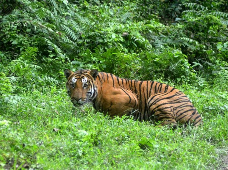 Une gardienne de zoo mortellement attaquée par un tigre