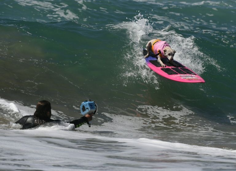 Surf dog Sugar, a Collie mix, rides a wave during the 8th annual Surf City Surf Dog event at Huntington Beach, California