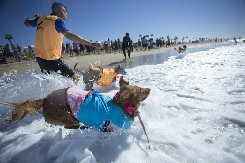 Surfing dogs run in to ocean at the start of a heat of the Surf Dog Competition at the 8th annual Petco Surf City Surf Dog.